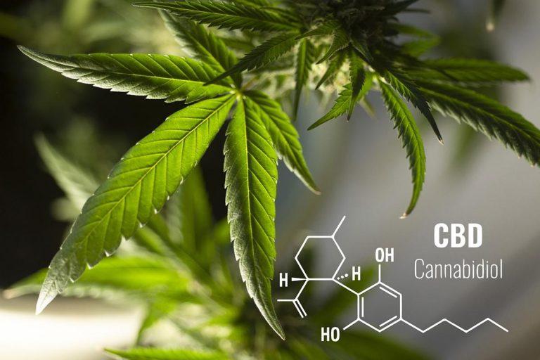 Jak wyselekcjonować dopasowane do oczekiwań nasiona roślin marihuany?